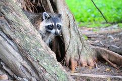 Mapache o mapache en la Florida del sur Foto de archivo
