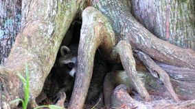 Mapache o mapache joven en la Florida del sur Imagenes de archivo