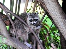 Mapache o mapache norteamericano Fotos de archivo libres de regalías
