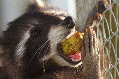 Mapache que come la manzana Fotografía de archivo