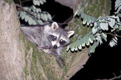 Mapache que oculta en un árbol Foto de archivo libre de regalías