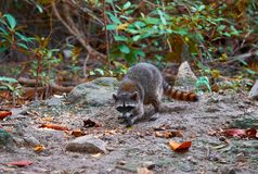Mapache wild raccoon in Riviera Maya. Mangroove at Mexico Stock Images