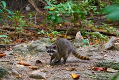 Mapache wild raccoon in Riviera Maya. Mangroove at Mexico Royalty Free Stock Images