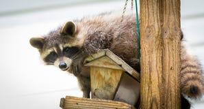 Mapache y x28; Lotor& x29 del Procyon; en un alimentador del pájaro, Ontario del este El mamífero enmascarado busca y encuentra u Foto de archivo