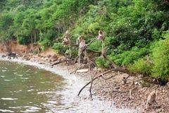 Małpi czekanie dla i przyglądająca szansa skradziony jedzenie w wyspie andaman morze, Thailand Lipe wyspa Zdjęcia Royalty Free