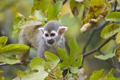 małpia wiewiórka Fotografia Stock