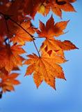 Maple Stock Photography