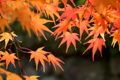 Maple. The red maple trees in japanese garden with black background Stock Photo