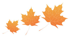 Maple Royalty Free Stock Photos