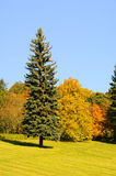 Maple. Trees and fir trees in fall Stock Photo
