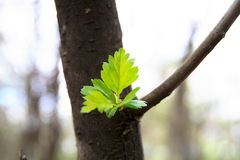 Maple. Green leaf of a maple in the spring Stock Photos