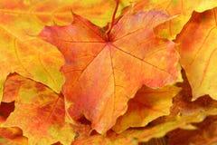 Maple. Leaf in autumn foliage Stock Photo