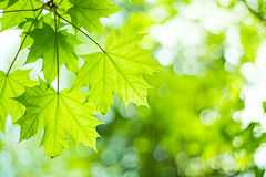 Maple Royalty Free Stock Photography