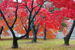 Maple. The red maple trees in japanese garden Stock Photo