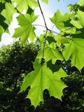 Maple. Green maple stock image
