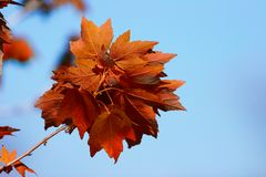 Maple. Autumn Stock Images