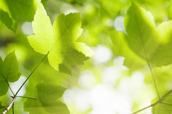 Maple Royalty Free Stock Images