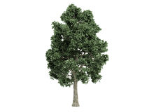 Maple_ (Acer) Royalty-vrije Stock Foto