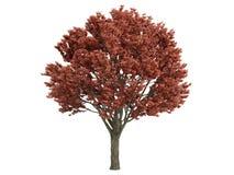 Maple_ (Acer_griseum) Stock Fotografie