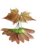 Maple (Acer) Stock Photos
