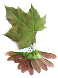 Maple (Acer) Royalty Free Stock Images