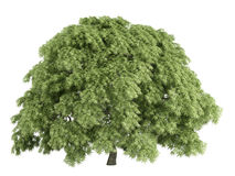 Maple_ (Acer_palmatum) Stock Afbeelding