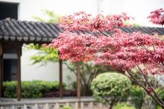 Maple(Acer palmatum Thunb) Royalty Free Stock Photography