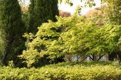 Maple(Acer palmatum Thunb) tree Stock Photography
