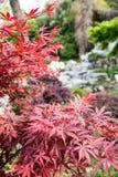 Maple(Acer palmatum Thunb) tree royalty free stock images