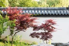 Maple(Acer palmatum Thunb) tree Royalty Free Stock Photos