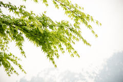Maple(Acer palmatum Thunb) and white wall Royalty Free Stock Image