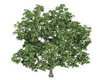 Maple_ (Acer_platanoides) Royalty-vrije Stock Foto's