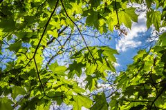 Maple Acer tree royalty free stock photos
