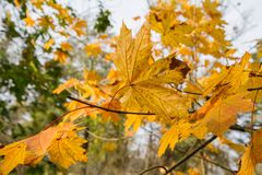 Maple Acer Tree Leaves Stock Images