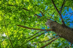 Maple Acer tree royalty free stock images