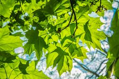 Maple Acer tree royalty free stock image