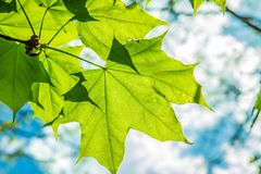 Maple Acer tree stock image
