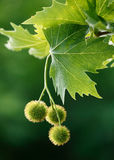 Maple acorns. And leafs Stock Images