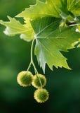 Maple acorns stock images
