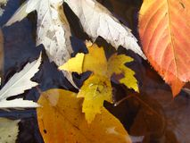 Maple and alder tree leaves in the water Stock Image
