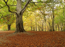 Maple alley. In autumn, Urbasa, Basque Country royalty free stock photography