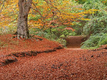 Maple alley. In autumn, Urbasa, Basque Country Royalty Free Stock Photos