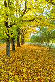 Maple alley. Alley of maples backfilled yellow leaves royalty free stock photography