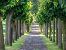 Maple alley in summer with long way in park Stock Images