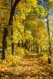 Maple alley on a sunny autumn day. Stock Photos