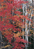 Maple And Birch Trees Royalty Free Stock Images
