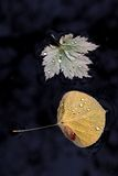 Maple and Aspen Leaves in water Stock Photography