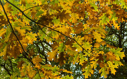 Maple Autum Colors Royalty Free Stock Photos