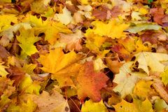 Maple Autumn royalty free stock photography