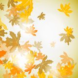 Maple autumn background Royalty Free Stock Images